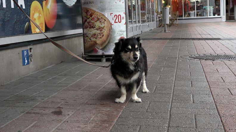 Useimmat ruokakaupat eivät päästä koiria sisään ostoksille. Kamu, 13, odottelee Munkkivuoren ostoskeskuksen ulkopuolella Helsingissä18.8.2021.