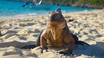 Leguaani istuskelee rannalla Bahamalla.