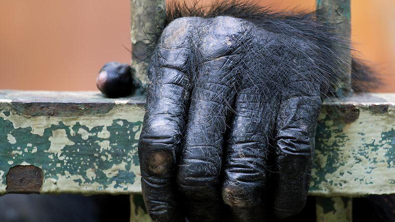 simpanssi eläintarhassa