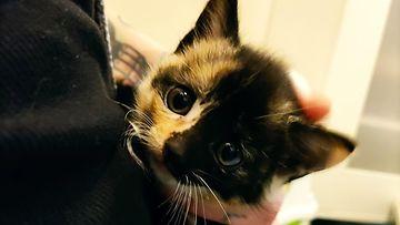 Muun muassa tämä kissanpentu etsii uutta kotia Vaasanseudun eläinsuojeluyhdistyksessä.