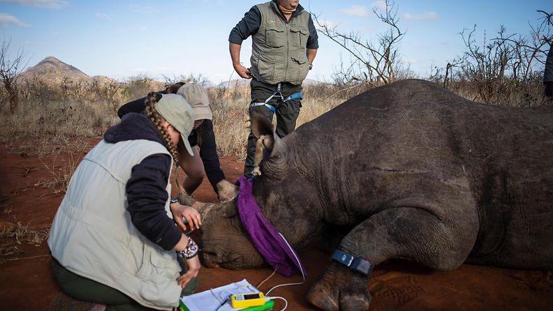 Tutkijat poistavat sarvikuonon sarvea Etelä-Afrikassa vuonna 2020.