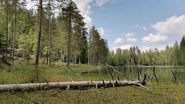 LK 10.9.2021 Toivakan Riuttasalo lähellä Päijännettä Keski-Suomessa. Pentti Linkolan muistometsä perustetaan säätiöiden yhteishankintana Riuttasaloon.