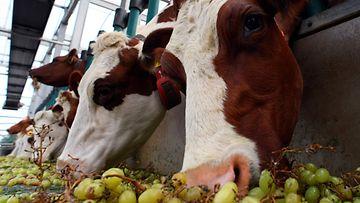 Lehmiä kelluvalla maatilalla Hollannissa.