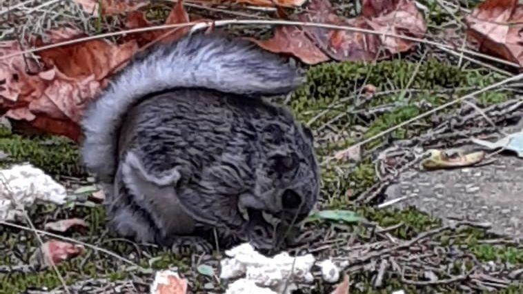 Liito-orava iitti