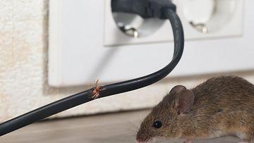 hiiri nakersi johtoa
