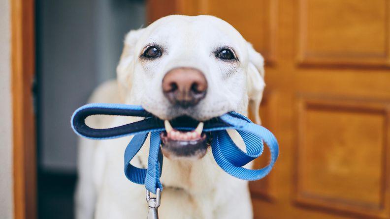 koira, koiran ulkoilutus, lenkki