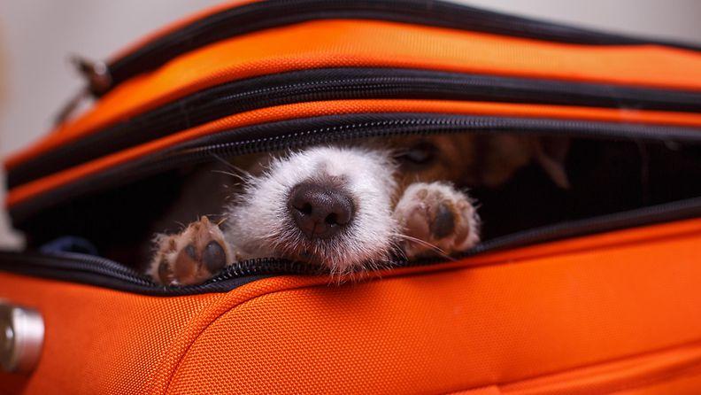 koira matkalaukussa