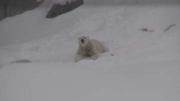 OMA: jääkarhu Nord