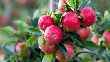kotimainen-omena