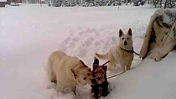 Pyro-terrieri pärjää hyvin Sannin ja Dacsun kanssa.
