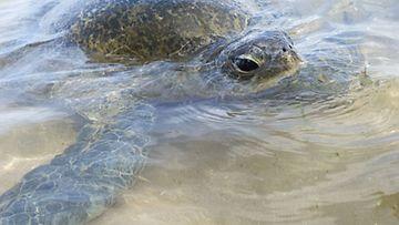 Merikilpikonnakannat kärsivät turismista.