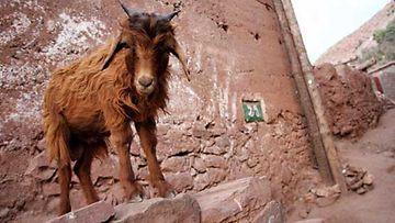 Marokkolaiset vuohet ovat omiaan ketteryydessä.