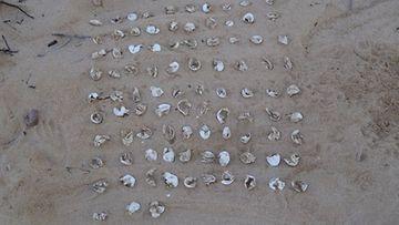 Kilpikonnan pesästä löydettiin 93 munankuorta.