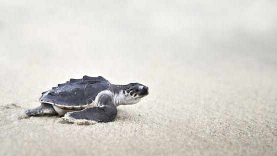 Vasta kuoriutunut kilpikonnan poikanen pyristelee kohti merta.