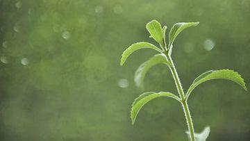Stevia-kasvin lehdistä uutetaan makeutusainetta, joka on 300 kertaa sokeria makeampaa, mutta kaloritonta.