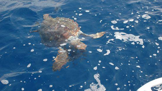 Kilpikonnat kärsivät turismista.